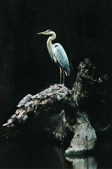 Great Blue Heron, Log