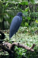 Little Blue Heron 2