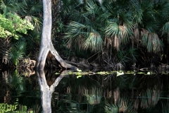 Morning Reflection on the Wekiva River, Florida